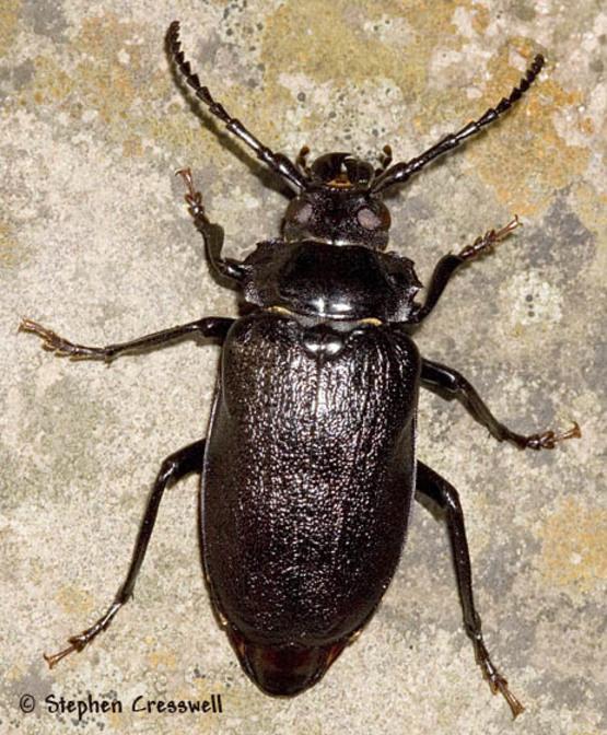 Mazambican_beetle